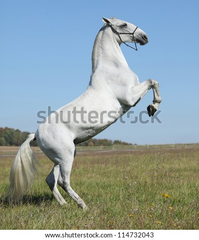 Lipizzaner in action