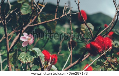 Lipstick Tree, Bixa orellana, next to pink blossom in Manoa Valley Hawaii Oahu, USA. - stock photo