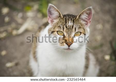 Listened yellow eyed kitty cat  - stock photo