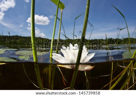 Lit by the bright summer sun, a lily flower opens on a calm freshwater lake in New England, USA.  Freshwater ponds and lakes offer glimpses into isolated aquatic ecosystems. - stock photo