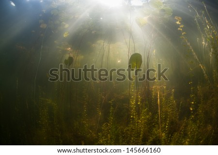 Lit by the bright summer sun, lily pads grow in a calm freshwater lake in New England, USA.  Freshwater ponds and lakes offer glimpses into isolated aquatic ecosystems. - stock photo
