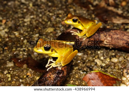 Litoria jungguy is a species of frog in the Hylidae family, endemic to Australia. Its natural habitats are subtropical or tropical moist lowland forests and rivers.