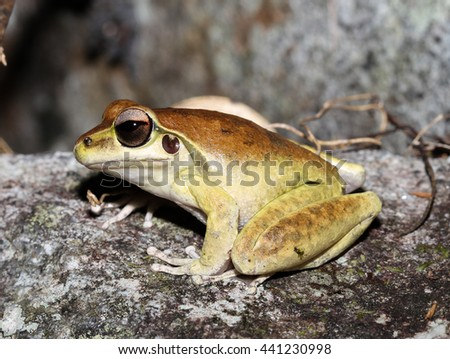 Litoria jungguy is a species of frog in the Hylidae family, endemic to Australia. Its natural habitats are subtropical or tropical moist lowland forests and rivers, and is threatened by habitat loss. - stock photo