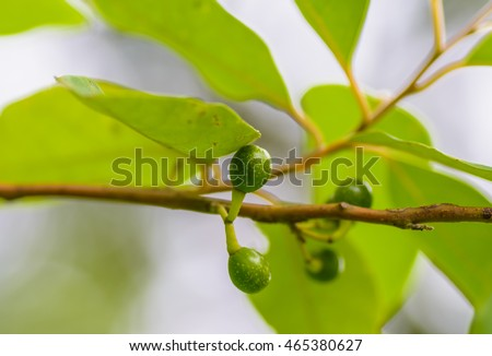 Litsea Cubeba fruit on branch of Litsea Cubeba tree. with blur background.