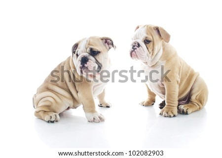 Litter brother and sister engish bulldog puppies isolated