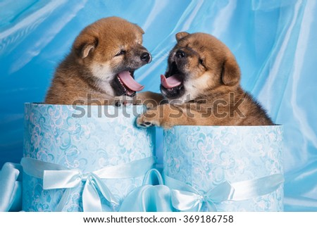 litter group of little small japan dog akita on blue background in a present boxes - stock photo
