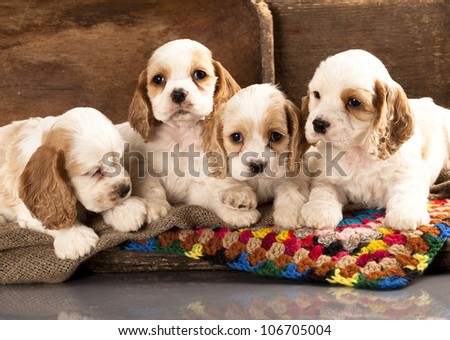 litter of american cocker spaniel puppies - stock photo