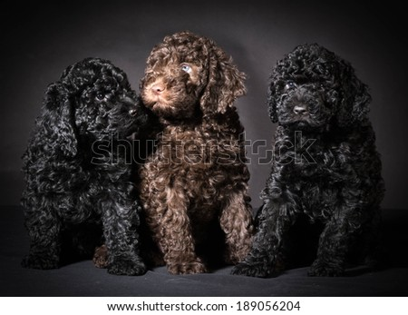 litter of barbet puppies - 7 weeks old - stock photo