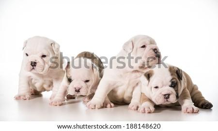 litter of english bulldog puppies - 4 weeks old - stock photo