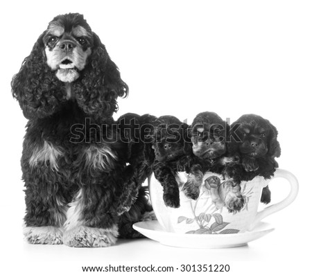 litter of puppies - american cocker spaniel mom and pups in a teacup on white background - stock photo