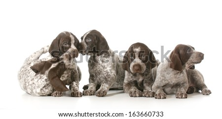 litter of puppies - five german shorthaired pointer puppies playing - 7 weeks old