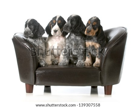 litter of puppies - four english cocker spaniel puppies sitting on a couch isolated on white background - 7 weeks old - stock photo