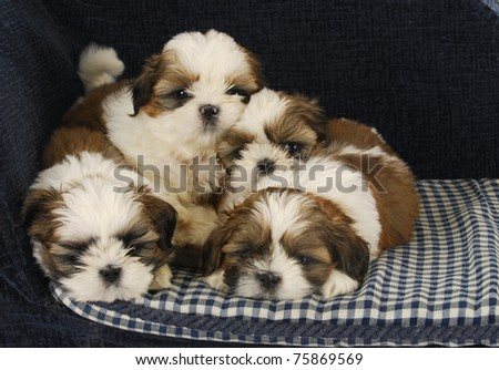 litter of puppies - four shih tzu puppies laying on dog bed
