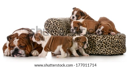litter of puppies playing beside their father isolated on white background - english bulldogs 8 weeks old - stock photo