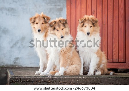 Litter of rough collie puppies sitting on the stairs - stock photo