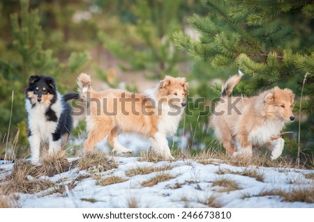 Litter of rough collie puppies walking outdoors in winter  - stock photo