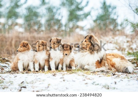 Litter of rough collie puppies with mother sitting outdoors in winter - stock photo