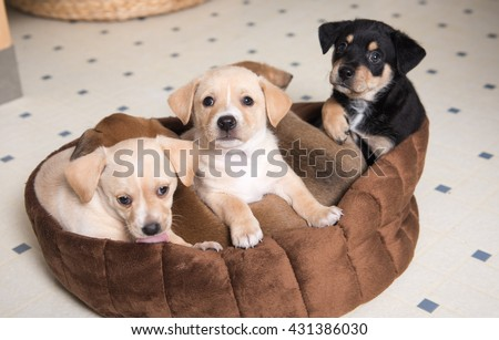 Litter of Terrier Mix Puppies Falling Asleep in Brown Dog Bed - stock photo