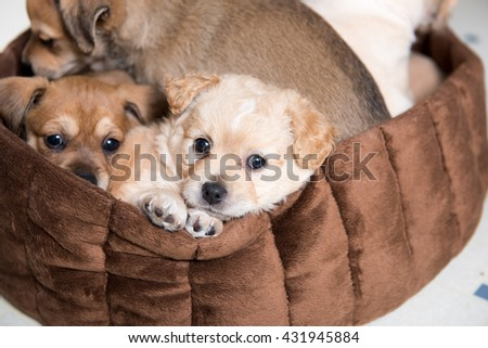 Litter of Terrier Mix Puppies Falling Asleep in Brown Dog Bed