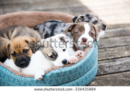 Litter of Terrier Mix Puppies Playing in Dog Bed Outside on Wooden Deck - stock photo