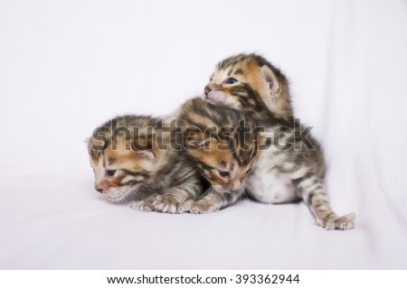 Litter of toyger kittens. Pedigreed domestic cats. Three little kittens. Feline faces close up. Bengal kittens two weeks old. - stock photo