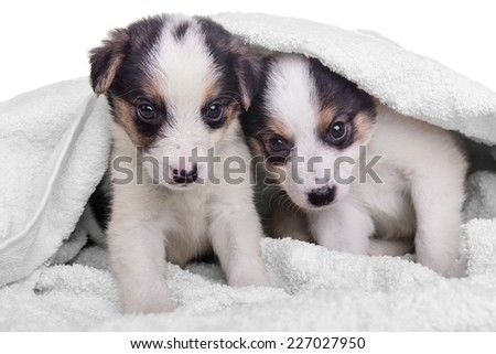 litter of two puppies mestizo in blanket. animals isolated on white background  - stock photo