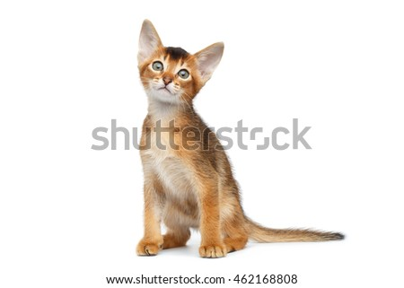 Little Abyssinian Kitty Sitting and Curious Looks up on Isolated White Background, Front view