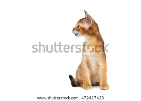 Little Abyssinian Kitty Sitting and Looking left on Isolated White Background, Front view, Small Animal