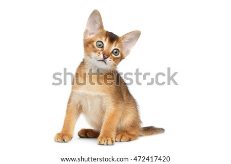 Little Abyssinian Kitty Sitting and Looking up on Isolated White Background, Front view, Baby Animal