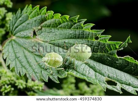 little aliens...green stinkbug nymphs (on stinging nettle) - stock photo