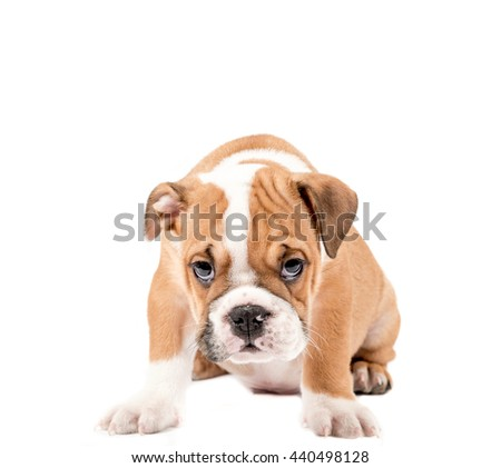 Little and cute english bulldog puppy isolated on white
