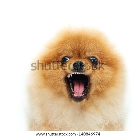 Little angry spitz - stock photo