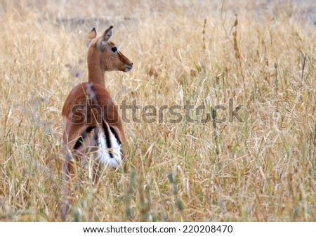 little antilope walking in high grass at a african wildpark - stock photo
