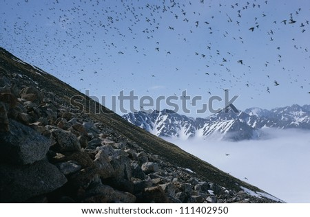Little auks flying over a mountain range, Greenland - stock photo