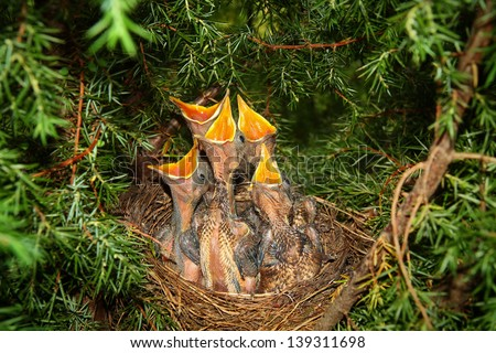 Little baby blackbirds at a nest close up - stock photo