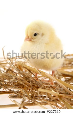 Little baby chicken in nest isolated on white - stock photo