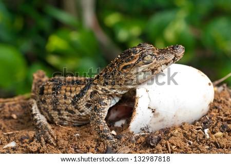 Little baby crocodiles are hatching - stock photo