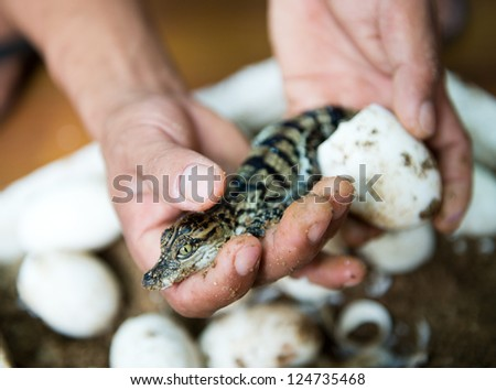Little baby crocodiles are hatching from eggs.