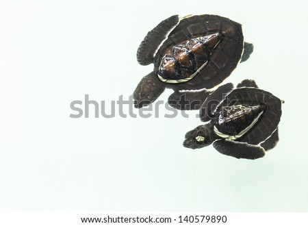 Little baby Sea turtles in nursery, Thailand