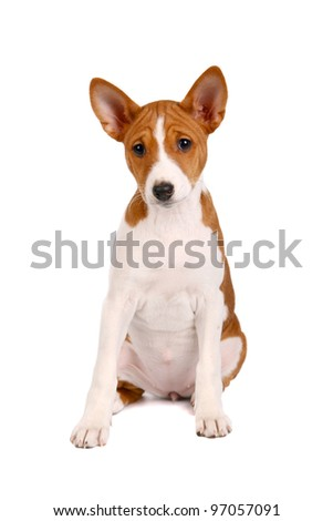 Little Basenji puppy, 2 month, on the white background