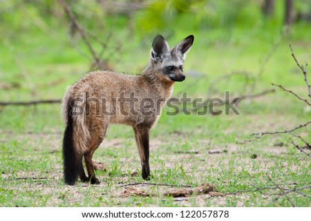 Little Bat-Eared Fox scanning the scene. Ruaha National Park, Tanzania. - stock photo