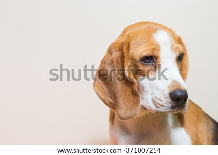 Little Beagle dog portrait in studio