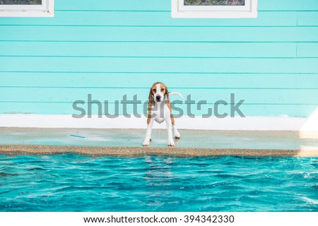 Little beagle dog standing and prepare to jump into the swimming pool