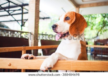 Little beagle dog standing next to the cage - stock photo