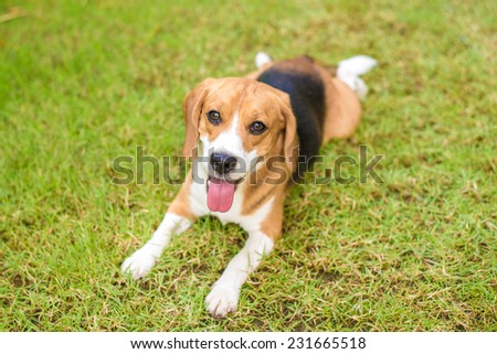 Little beagle puppy playing in green grass - stock photo