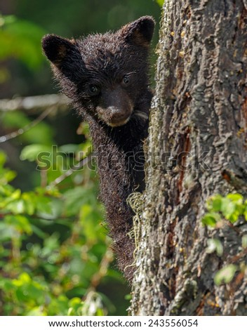 Little bear bear cub clamped in a tree - stock photo