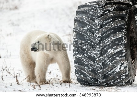 Little bear or big wheel? Curious polar bear in the arctic checks out a tundra buggy, and prepares to eat up - stock photo