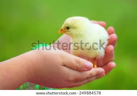 Little beautiful chicken on hands - stock photo