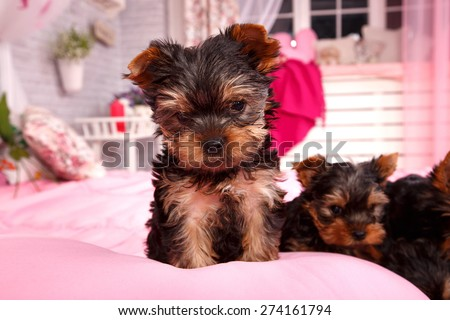 Little beautiful dog breed Yorkshire terrier. Very small puppy on a pink bed. Portrait of a dog york terrier. Dog emotions displayed in the portrait. Close up. - stock photo