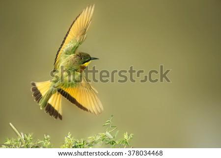 Little bee eater in flight - stock photo